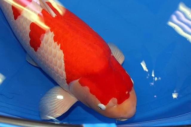 Ngắm cá Koi đắt nhất thế giới giá gần 42 tỷ đồng - Ảnh 1.