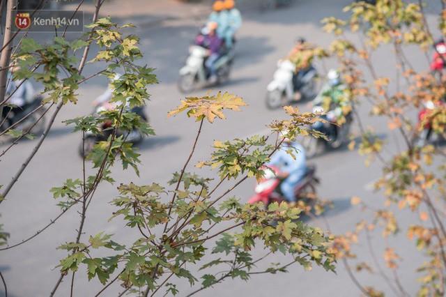 Hàng cây phong lá đỏ củi khô trước đây đã nhuộm sắc vàng đầu thu Hà Nội - Ảnh 12.