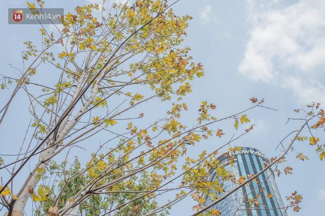 Hàng cây phong lá đỏ củi khô trước đây đã nhuộm sắc vàng đầu thu Hà Nội - Ảnh 6.