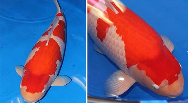Ngắm cá Koi đắt nhất thế giới giá gần 42 tỷ đồng - Ảnh 5.