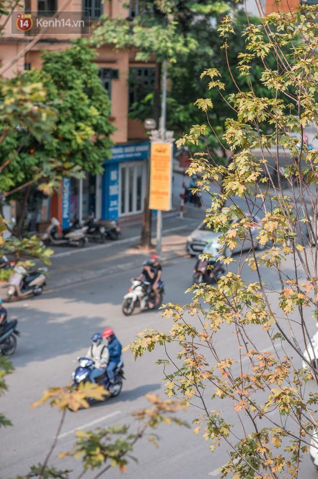 Hàng cây phong lá đỏ củi khô trước đây đã nhuộm sắc vàng đầu thu Hà Nội - Ảnh 7.