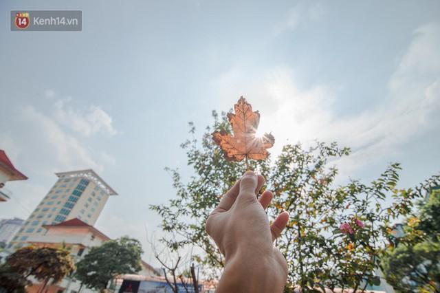 Hàng cây phong lá đỏ củi khô trước đây đã nhuộm sắc vàng đầu thu Hà Nội - Ảnh 9.