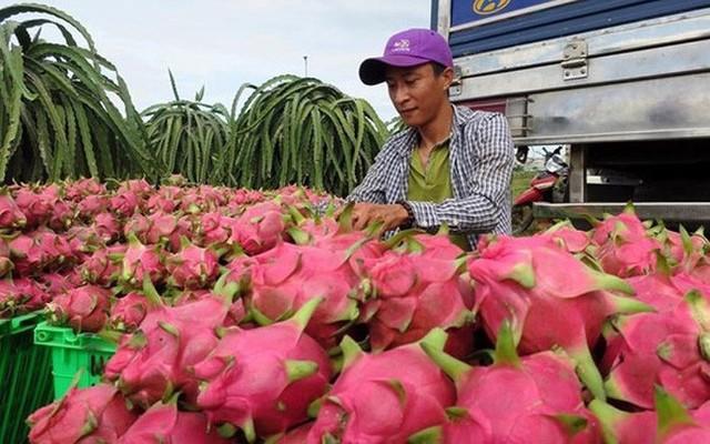 Thanh long tại vườn 2.000 đồng/kg, người tiêu dùng vẫn mua với giá cao gấp 10 lần - Ảnh 1.