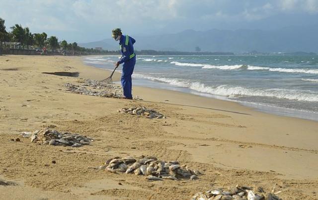 Cá chết dạt trắng bờ biển Đà Nẵng  - Ảnh 2.