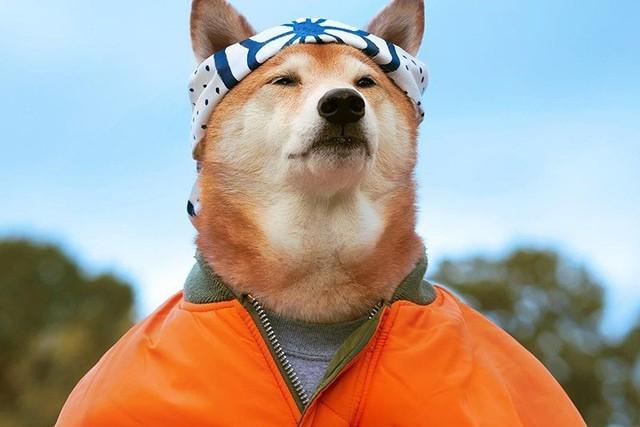 """Chó thời trang Bodhi cực """"ngầu"""" với mức lương 15.000 USD/tháng - Ảnh 2."""