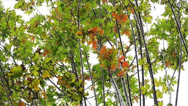 Bất chấp kiểu thời tiết khó chiều ở Hà Nội, hàng phong lá đỏ đổi màu đẹp lãng mạn - Ảnh 3.