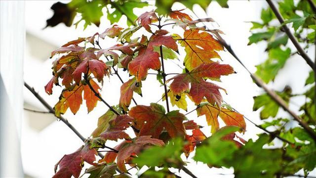 Bất chấp kiểu thời tiết khó chiều ở Hà Nội, hàng phong lá đỏ đổi màu đẹp lãng mạn - Ảnh 4.