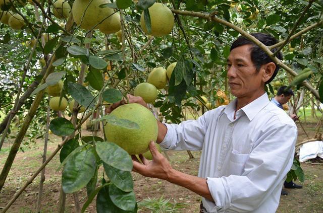 Vựa bưởi Đoan Hùng nhảy từ 5 tỷ lên 260 tỷ đồng - Ảnh 4.