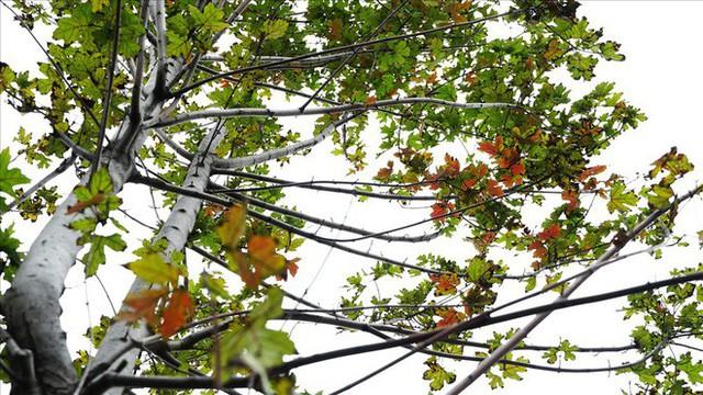 Bất chấp kiểu thời tiết khó chiều ở Hà Nội, hàng phong lá đỏ đổi màu đẹp lãng mạn - Ảnh 6.