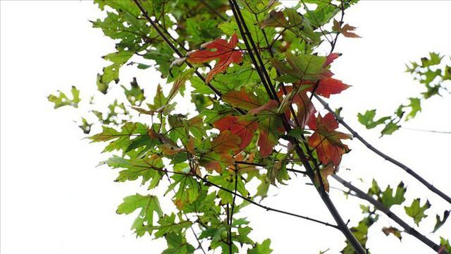 Bất chấp kiểu thời tiết khó chiều ở Hà Nội, hàng phong lá đỏ đổi màu đẹp lãng mạn - Ảnh 8.