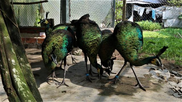 Cần Thơ: Tận mắt chiêm ngưỡng trang trại chim quý, có cặp giá cao vút 100 triệu đồng vẫn khiến khách xếp hàng chờ mua - Ảnh 4.