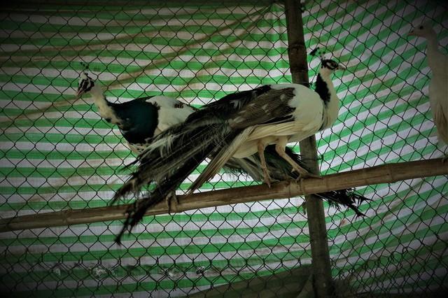 Cần Thơ: Tận mắt chiêm ngưỡng trang trại chim quý, có cặp giá cao vút 100 triệu đồng vẫn khiến khách xếp hàng chờ mua - Ảnh 5.