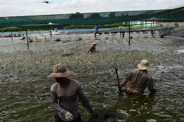 Tôm nước lợ bứt phá ngoạn mục, được mùa xuất khẩu - Ảnh 2.