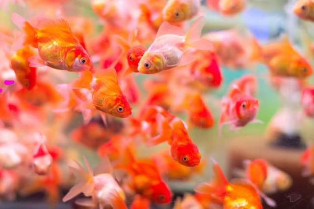 """Những sự thật khó ai tin nổi về loài cá vàng: được """"cưng"""" hết mực ở Nhà Trắng, biết làm trò như cún, và... - Ảnh 2."""