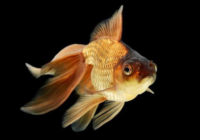 """Những sự thật khó ai tin nổi về loài cá vàng: được """"cưng"""" hết mực ở Nhà Trắng, biết làm trò như cún, và... - Ảnh 3."""