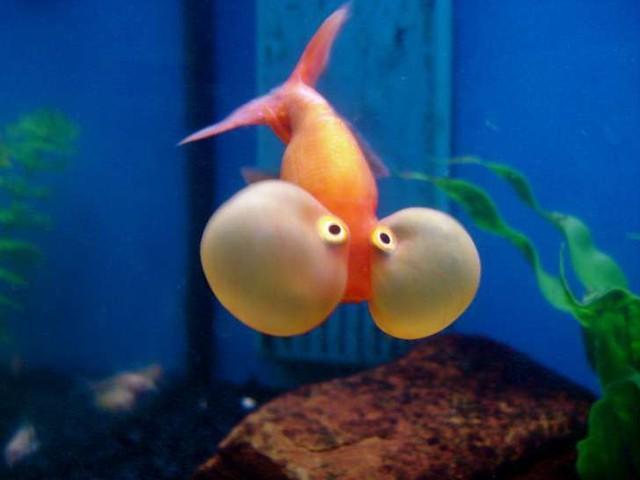 """Những sự thật khó ai tin nổi về loài cá vàng: được """"cưng"""" hết mực ở Nhà Trắng, biết làm trò như cún, và... - Ảnh 4."""