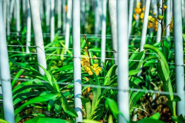 Ngắm vườn lan mokara lãi 2 tỉ đồng/năm của nam thanh niên Đà Nẵng - Ảnh 13.