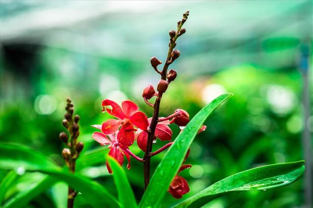 Ngắm vườn lan mokara lãi 2 tỉ đồng/năm của nam thanh niên Đà Nẵng - Ảnh 14.