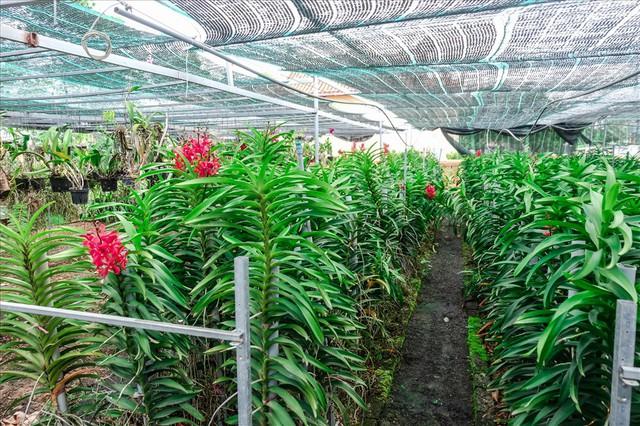 Ngắm vườn lan mokara lãi 2 tỉ đồng/năm của nam thanh niên Đà Nẵng - Ảnh 5.
