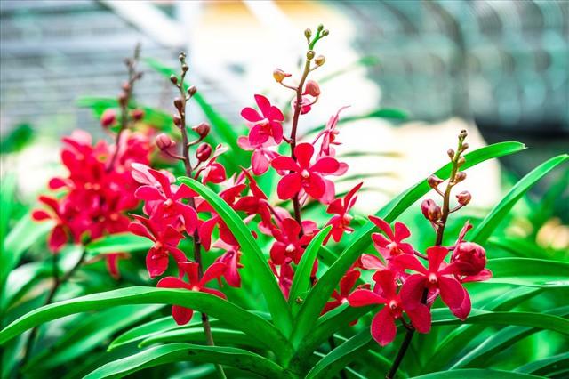 Ngắm vườn lan mokara lãi 2 tỉ đồng/năm của nam thanh niên Đà Nẵng - Ảnh 7.