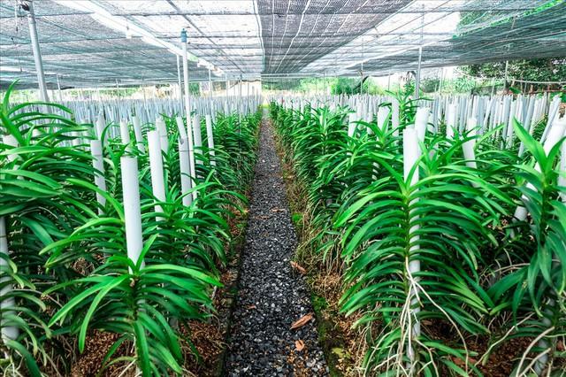 Ngắm vườn lan mokara lãi 2 tỉ đồng/năm của nam thanh niên Đà Nẵng - Ảnh 10.