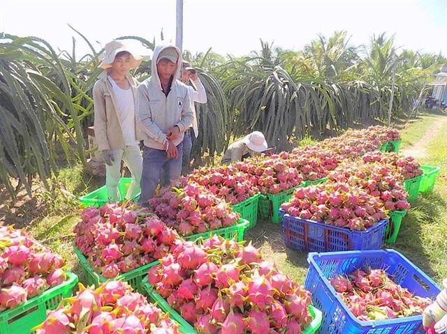 Thanh long có giá cao trở lại, nhà vườn Bình Thuận kỳ vọng vụ tết - Ảnh 1.