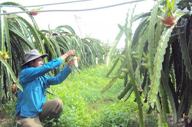 Thanh long có giá cao trở lại, nhà vườn Bình Thuận kỳ vọng vụ tết - Ảnh 3.