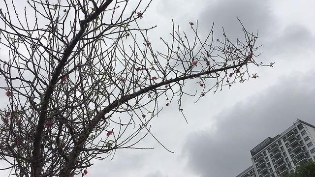Hoa đào bung nở trong giá rét, khoe sắc trên phố Hà Nội   - Ảnh 1.