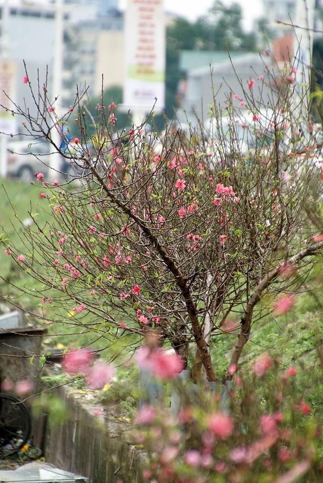 Hoa đào bung nở trong giá rét, khoe sắc trên phố Hà Nội   - Ảnh 2.