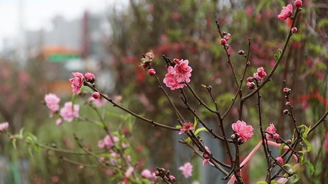 Hoa đào bung nở trong giá rét, khoe sắc trên phố Hà Nội   - Ảnh 12.