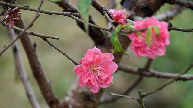 Hoa đào bung nở trong giá rét, khoe sắc trên phố Hà Nội   - Ảnh 13.