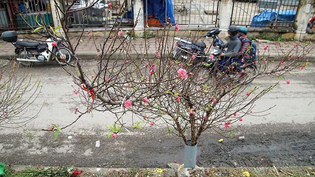 Hoa đào bung nở trong giá rét, khoe sắc trên phố Hà Nội   - Ảnh 3.