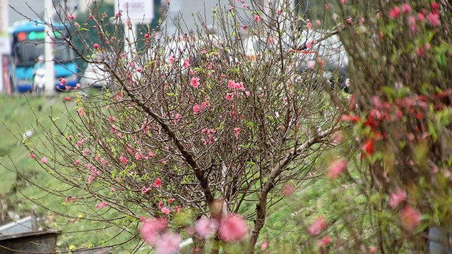 Hoa đào bung nở trong giá rét, khoe sắc trên phố Hà Nội   - Ảnh 4.