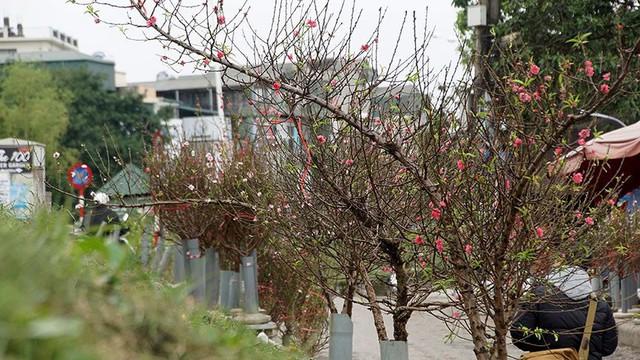 Hoa đào bung nở trong giá rét, khoe sắc trên phố Hà Nội   - Ảnh 7.