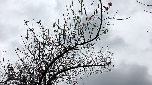 Hoa đào bung nở trong giá rét, khoe sắc trên phố Hà Nội   - Ảnh 9.
