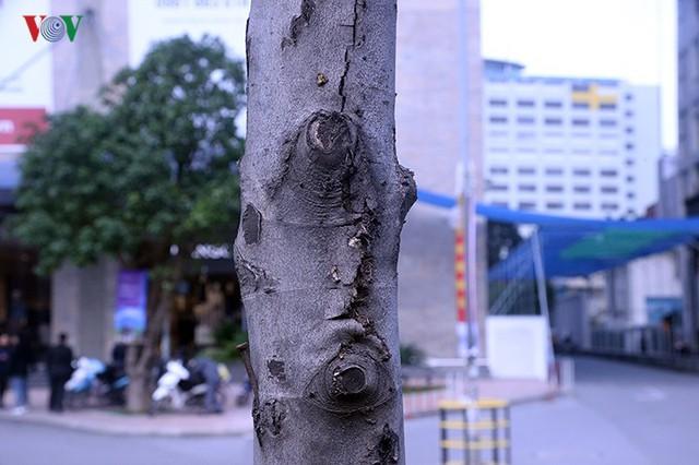 Hàng cây phong ở Hà Nội trơ cành, khô héo ngay đầu mùa đông - Ảnh 13.