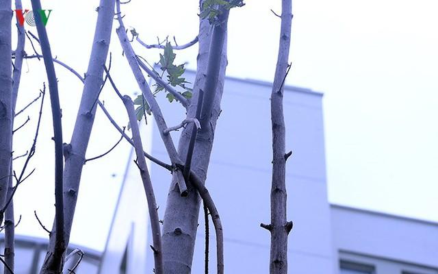 Hàng cây phong ở Hà Nội trơ cành, khô héo ngay đầu mùa đông - Ảnh 14.