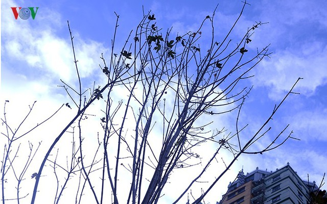 Hàng cây phong ở Hà Nội trơ cành, khô héo ngay đầu mùa đông - Ảnh 6.