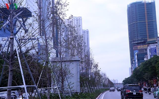 Hàng cây phong ở Hà Nội trơ cành, khô héo ngay đầu mùa đông - Ảnh 8.