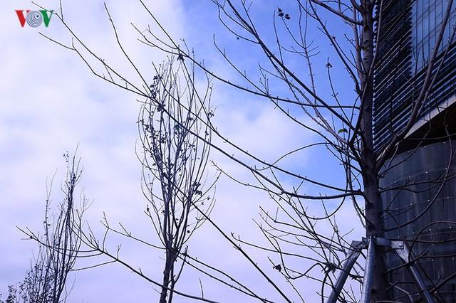 Hàng cây phong ở Hà Nội trơ cành, khô héo ngay đầu mùa đông - Ảnh 9.