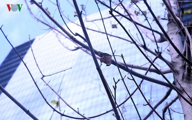 Hàng cây phong ở Hà Nội trơ cành, khô héo ngay đầu mùa đông - Ảnh 10.