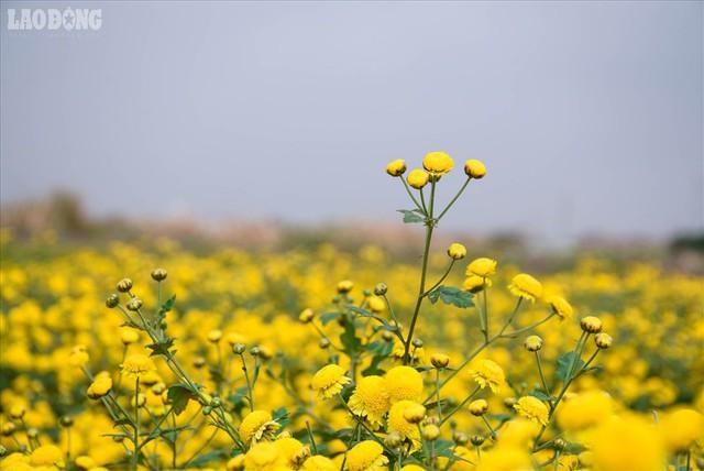 Đẹp mộng mị cánh đồng cúc Hưng Yên, nông dân thu trăm triệu mỗi sào - Ảnh 1.