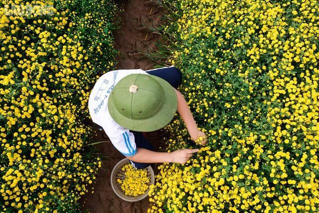 Đẹp mộng mị cánh đồng cúc Hưng Yên, nông dân thu trăm triệu mỗi sào - Ảnh 6.