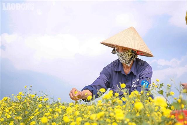 Đẹp mộng mị cánh đồng cúc Hưng Yên, nông dân thu trăm triệu mỗi sào - Ảnh 7.