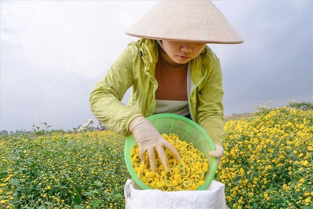 Đẹp mộng mị cánh đồng cúc Hưng Yên, nông dân thu trăm triệu mỗi sào - Ảnh 8.