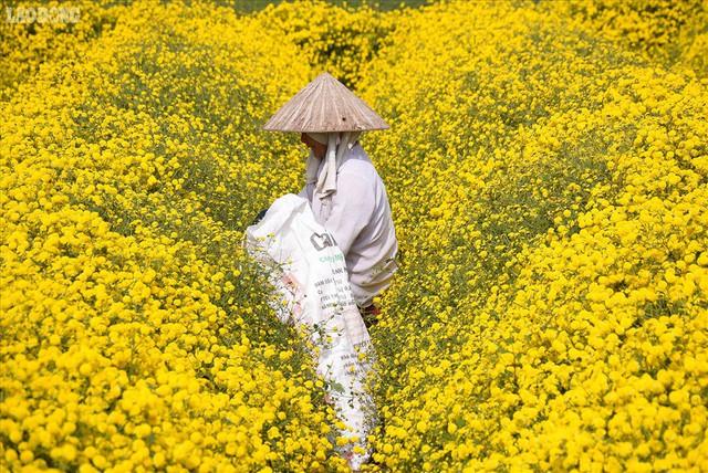 Đẹp mộng mị cánh đồng cúc Hưng Yên, nông dân thu trăm triệu mỗi sào - Ảnh 9.