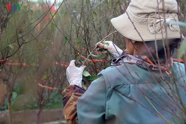Đào nở bung đỏ rực trước Tết dương lịch, người trồng thấp thỏm sợ thất thu - Ảnh 3.