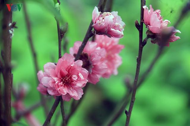 Đào nở bung đỏ rực trước Tết dương lịch, người trồng thấp thỏm sợ thất thu - Ảnh 4.