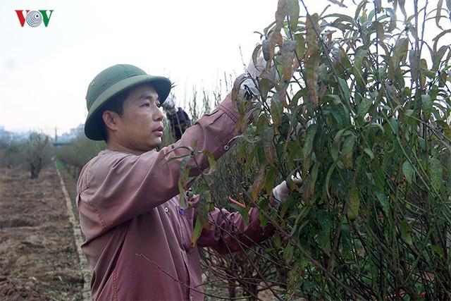 Đào nở bung đỏ rực trước Tết dương lịch, người trồng thấp thỏm sợ thất thu - Ảnh 5.