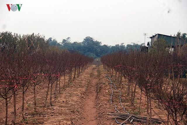 Đào nở bung đỏ rực trước Tết dương lịch, người trồng thấp thỏm sợ thất thu - Ảnh 6.